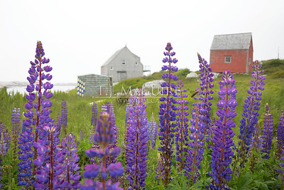 Lots of Lupins, Indian Harbour, NS