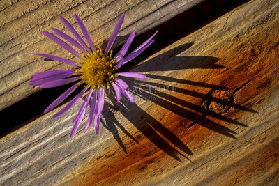 Purplestem Aster, Peggy's Cove