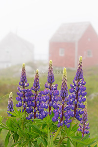 Lupins In The Fog, Indian Harbour, NS