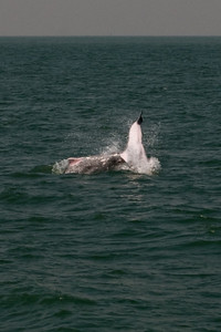 2 dolphins playing