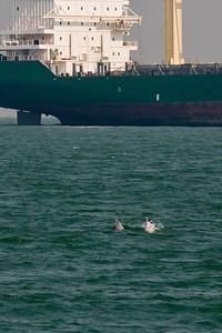 China White Dolphin