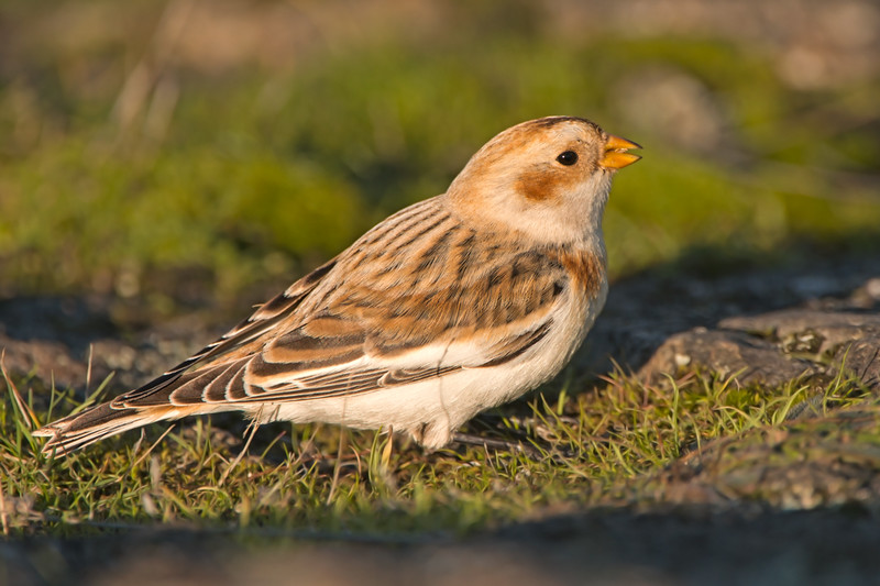 Snow bunting cattle point