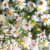 White-Heath Aster