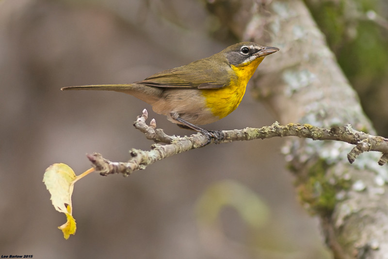 yellow -breasted chat victoria bc(third record for vancouver island)