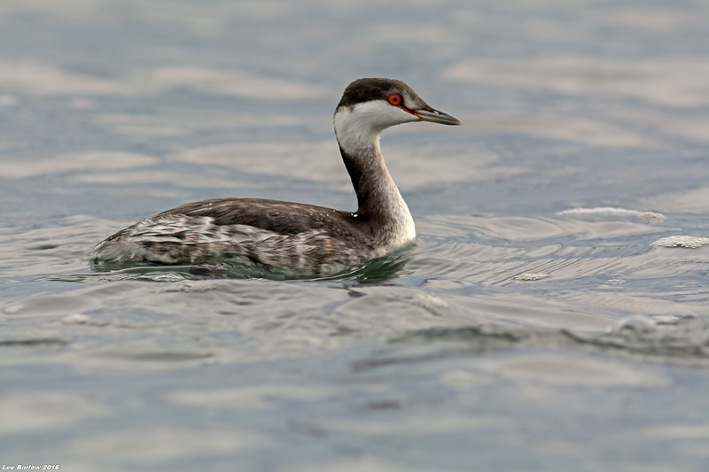 horned grebe victoria bc