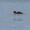 common scoter lincoln city oregon