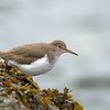 spotted sandpiper ucluelet bc