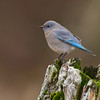 mountain bluebird nanaimo bc