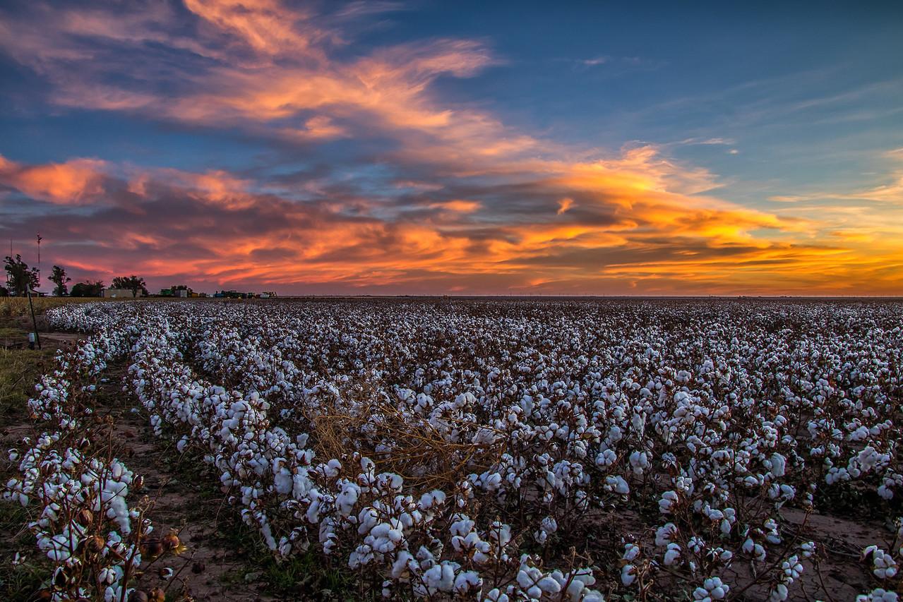 Cotton Sunrise