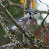Blue jay Victoria bc a rare bird for Vancouver island