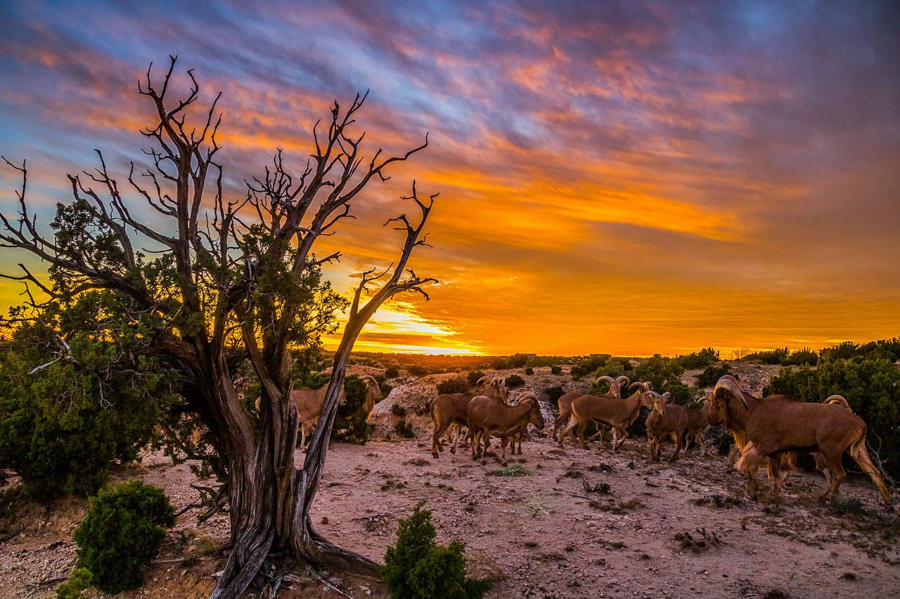 Aoudad Sheep Sunset