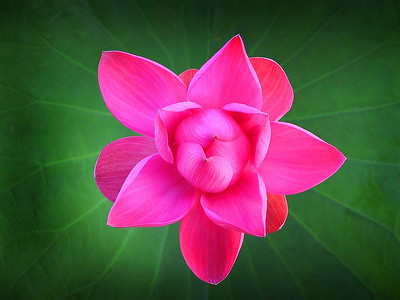 """""""Water Lily, Anderson Park, Townsville."""""""
