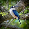 'Male Forest Kingfisher.'