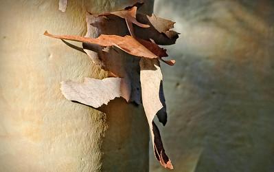 """Eucalyptus Shedding Bark."""