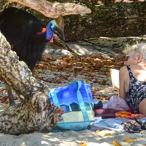 """Hey Lady, What's in the bag?"" Cassowary, Etty Bay, North Queensland"