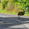 Juvenile Cassowary is on someone's turf.
