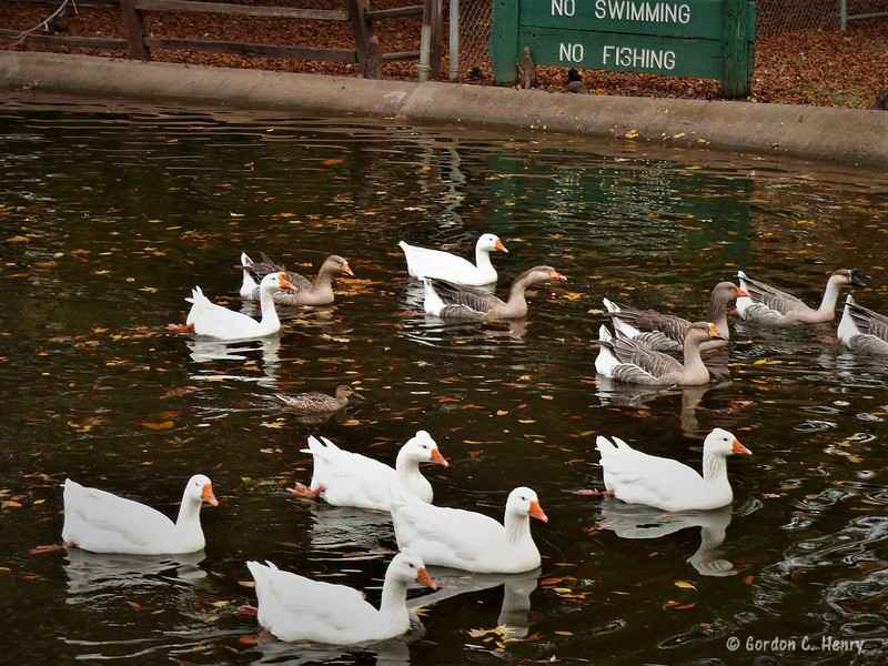 geese galore