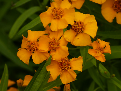 Mexican mint marigold