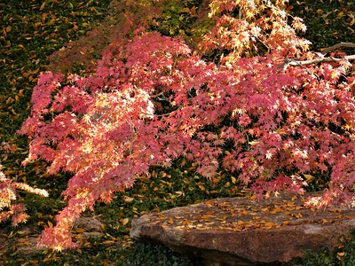 fall color, Fort Worth Japanese Garden