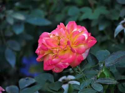 miniature rose: Rainbow's End