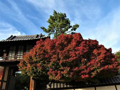 Japanese maple, Fort Worth Japanese Garden