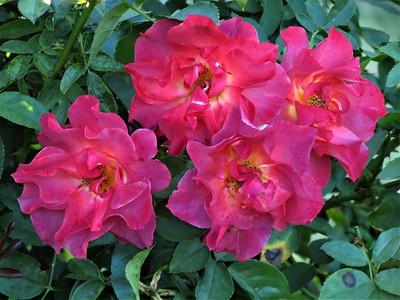 floribunda rose: Cinco De Mayo