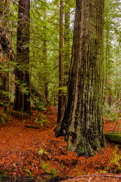 The Big Tree Grove of Redwoods