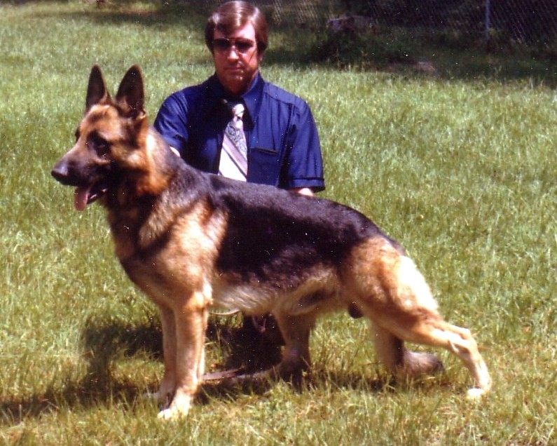 "This was one of my German Shepherd stud dogs when I used to raise and show German Shepherd dogs his name was ""DINO"" I loved this dog he was my best dog<br /> I raised German Sherpherds for 20 years had thirteen GSD in my kennel"
