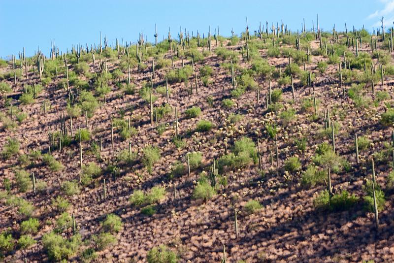 Hillside Cactus and Brush