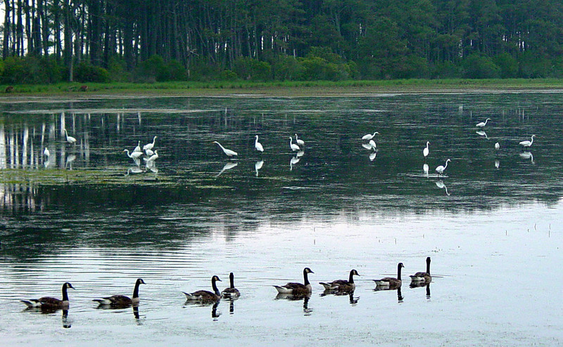 Geese And Egrets