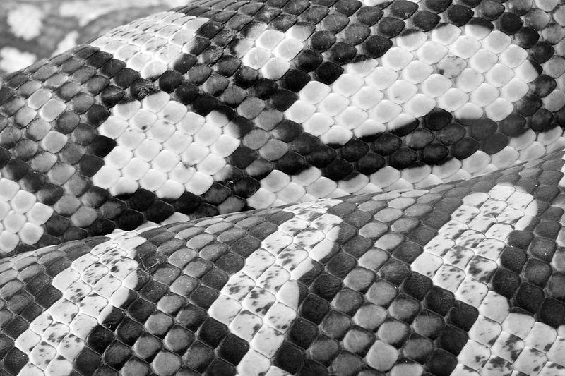 scales snakeskin by Jeff Arthur