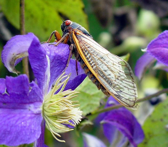 Cicada On Clematis