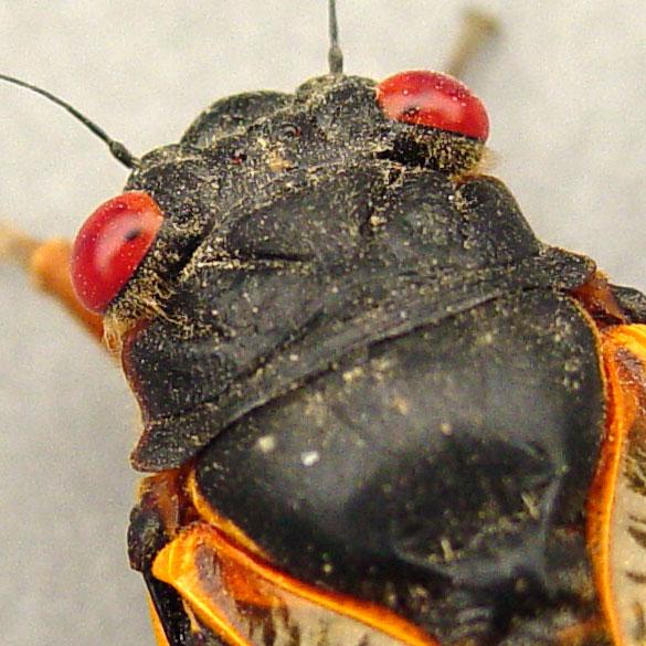Cicada Head