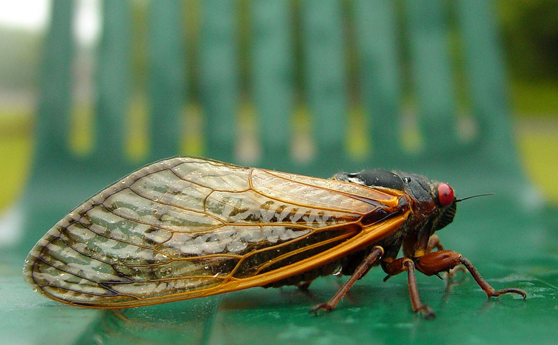 Cicada In Profile On Green Chair