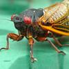Cicada Approaches