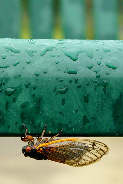 Cicada Upside Down On Green Chair