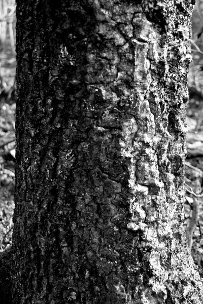 Tree Trunk After The Fire