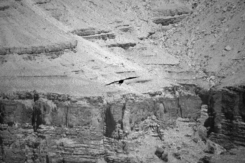 Buzzard soaring the canyon