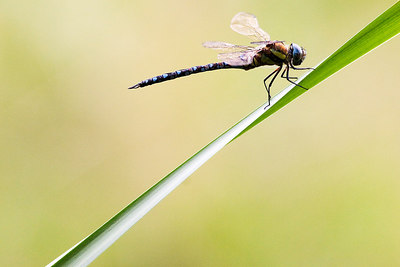 Resting dragonfly by Jeff Arthur