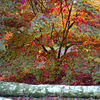 autumn maple silver birch logs westonbirt backlit by Jeff Arthur