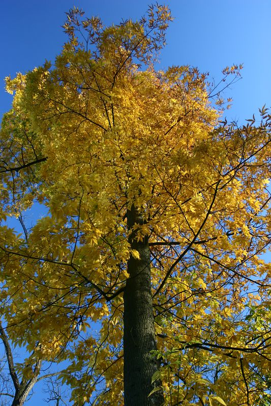 tree autumn yellow upwards blue yellow by Jeff Arthur