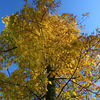 tree autumn yellow upwards blue yellow by Jeff Arthur