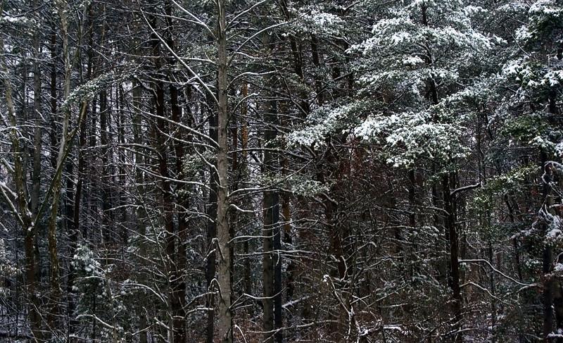 Snowy Trees, 3