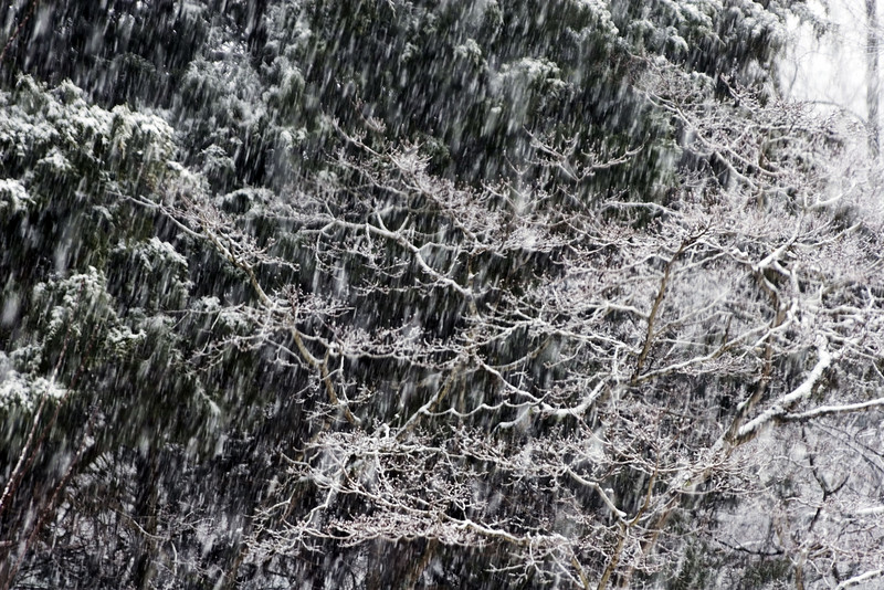 Snow Falling On Frozen Trees