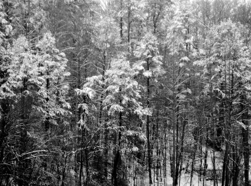 Snowy Trees, 4