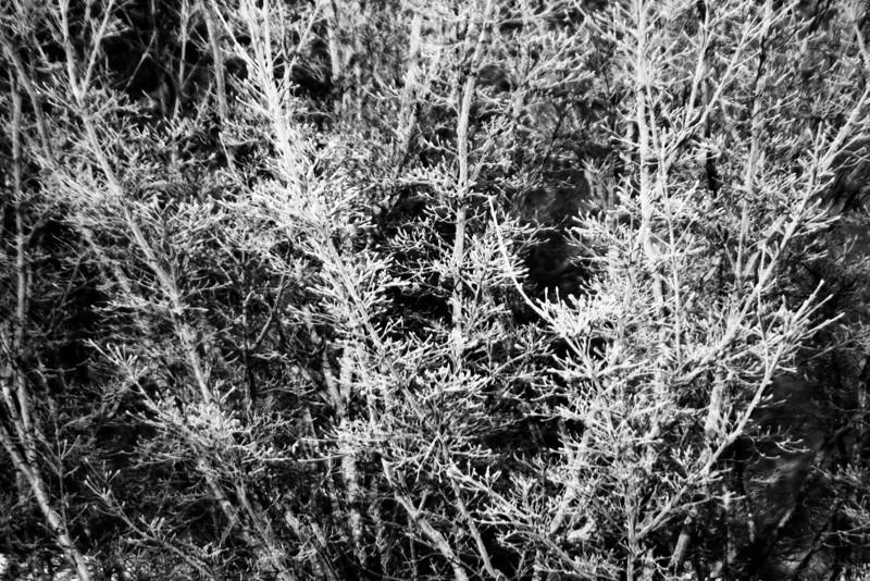 Icy Tree, 2