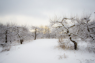 Morning in a snowy orchard