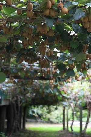 A tak rosna kiwi :)