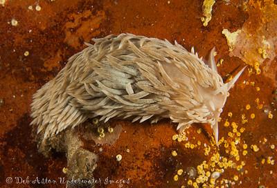 Aeolidiella drusilla