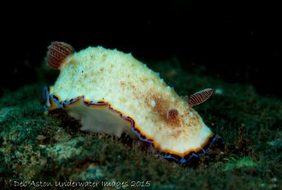 Goniobranchus preciosus